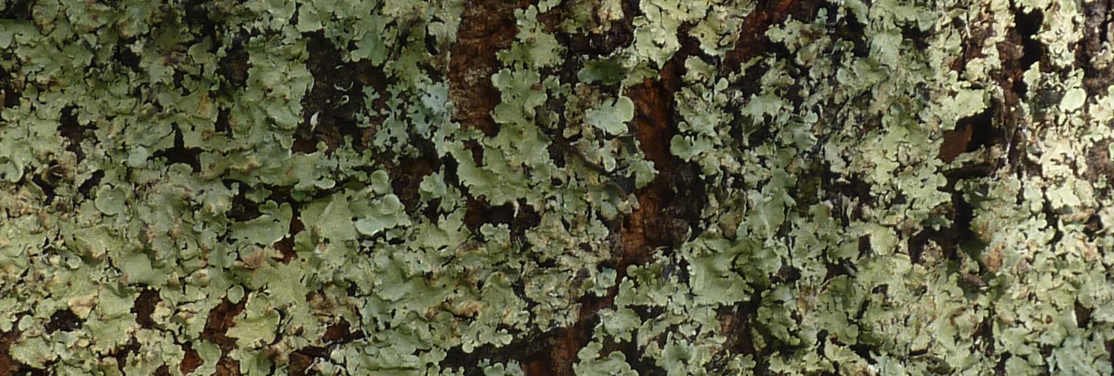 photo d'un lichen corticole sur le tronc d'un cerisier